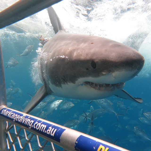 Shark Cage Diving @ Port Lincoln