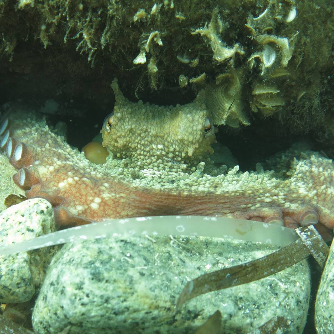 Oktopus am Cap Camarat
