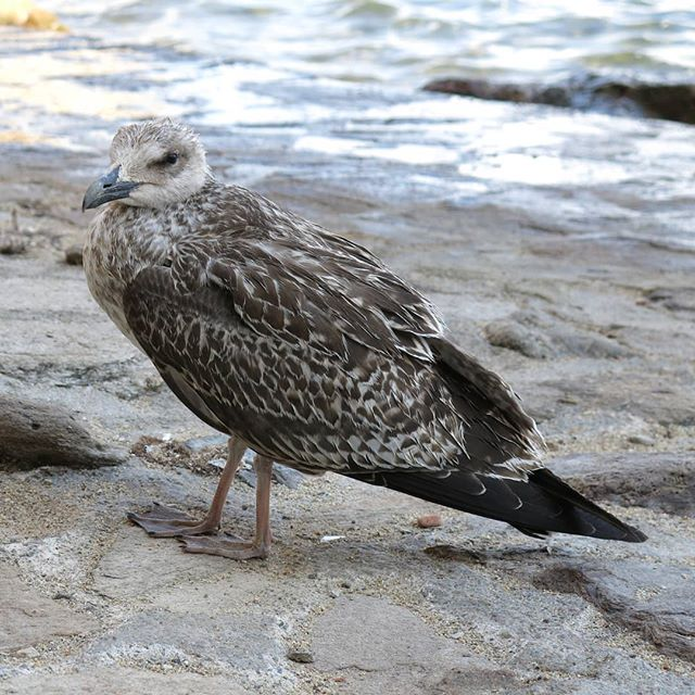 Albatros in Saint-Tropez