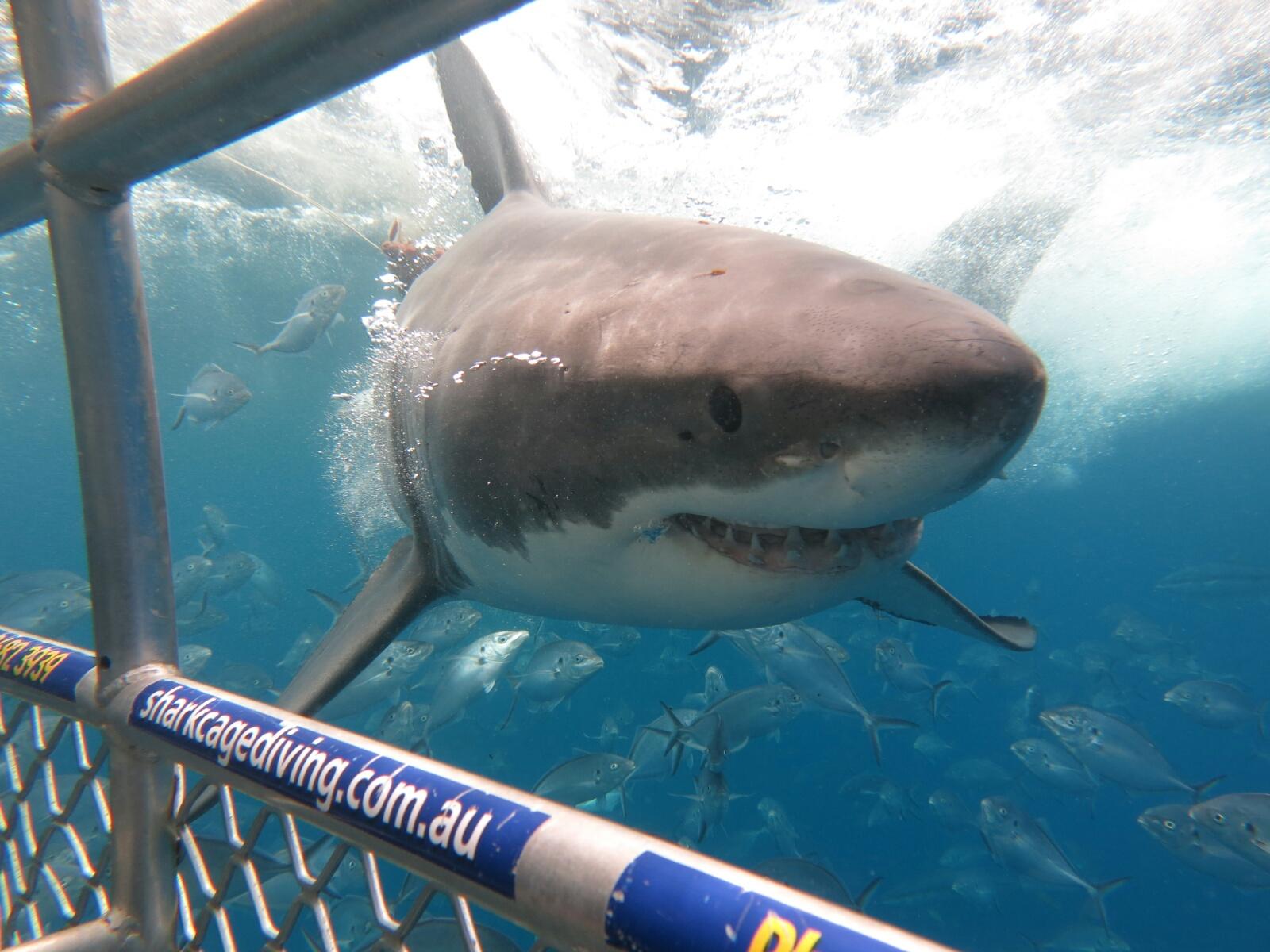 The Great White Shark (Weißer Hai)